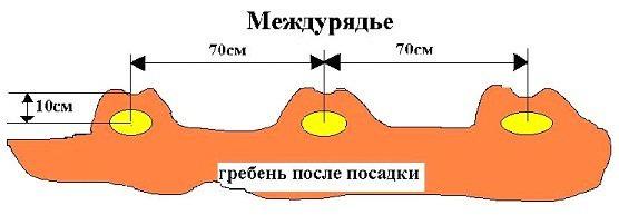 Картофель «Журавинка» следует высаживать строго придерживаясь оптимальных сроков и схемы посадки