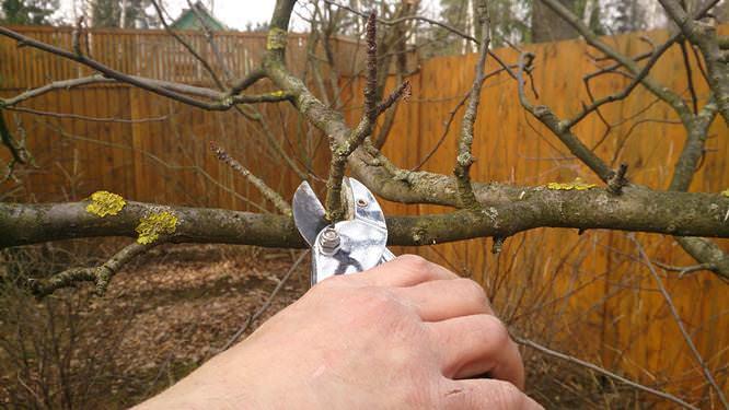 Крону взрослых деревьев постепенно омолаживают укорачивающей обрезкой на 2-летние ветви и снижая крону боковым разветвлением