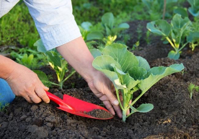 Следует уделить правильным подкормкам капусте «Золотой гектар» на всех стадиях вегетации