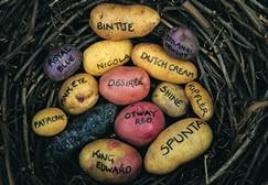 Сорта картофеля для средней полосы России наиболее востребованы у огородников