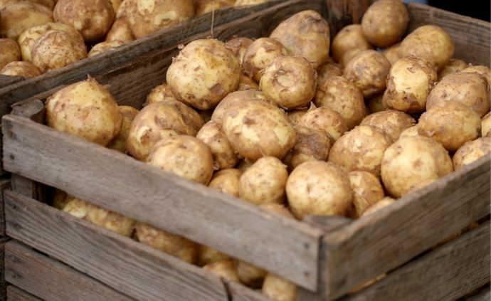 Картофель «Ривьера» неприхотлив и легко переносит погрешности в уходе