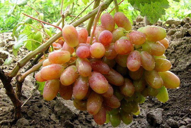Винограда «Виктор» выгодно отличается внешними характеристиками и вкусовыми качествами
