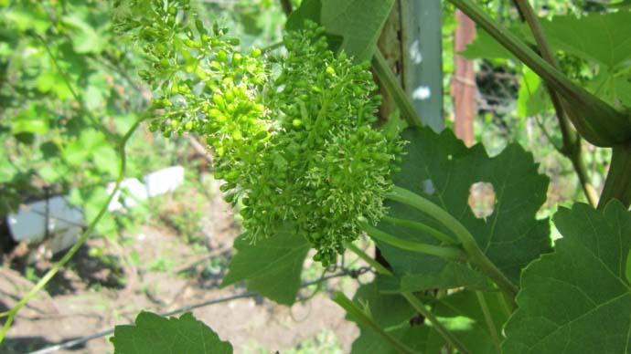 Виноград «Виктор» известен быстро разрастающейся и хорошо вызревающей лозой