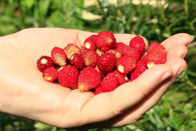 Главное преимущество сорта «Барон Солемахер» заключается в стабильной урожайности