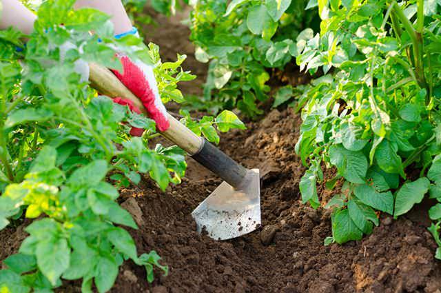 Окучивание картофеля «Тимо» способствует улучшению рыхлости грунта