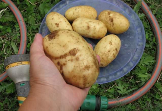 Ценностью картофеля «Колетте» является дружная отдача ранней овощной высококачественной продукции