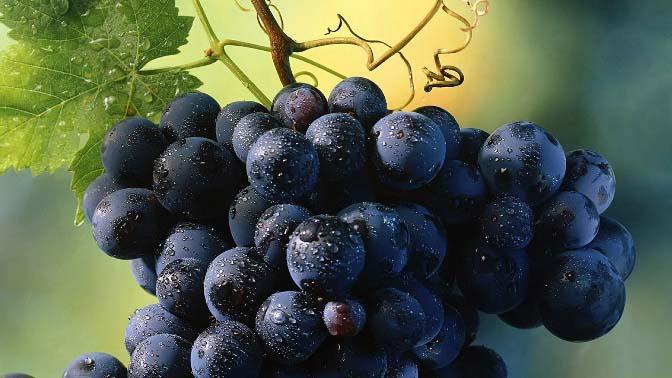 Виноград «Изабелла» относится к очень полезным ягодам