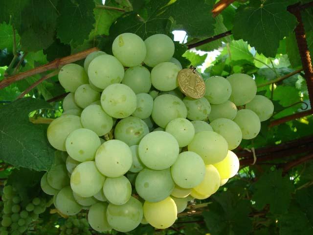 Сорт «Талисман» имеет устойчивость к основным виноградным заболеваниям и гнилям