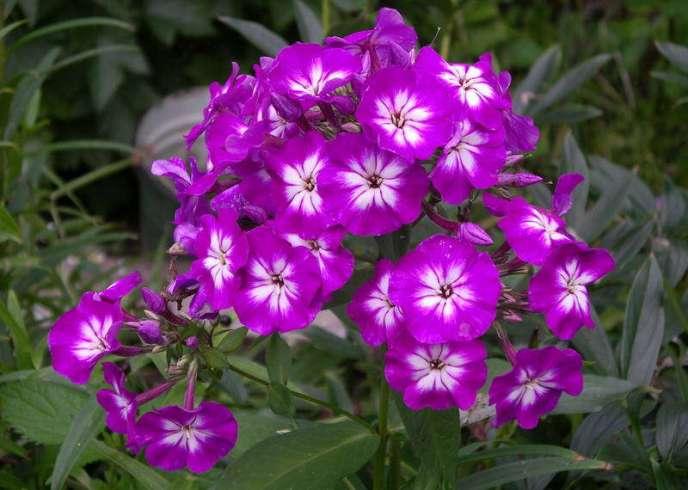Сорт «Успех» – красивоцветущий многолетник имеет мощный стебель и прямые листья