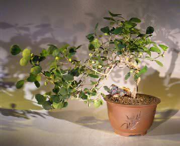Ficus diversifolia Blume