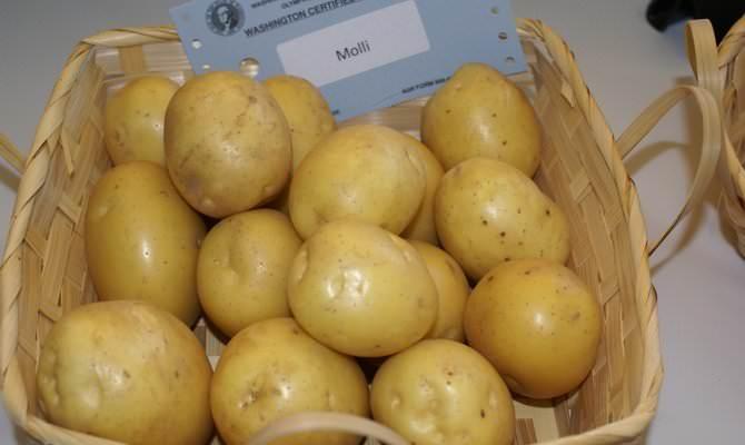 Раннеспелый столового сорта картофель «Молли» является одним из лучших коммерческих сортов от немецких агрономов