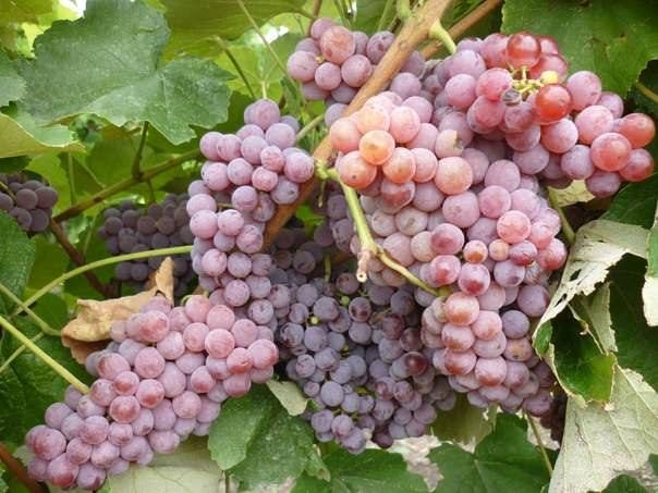 Виноград  RPS «Рилайнс пинк сидлис»