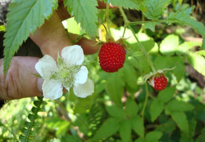 Особенности выращивания малины земляничной