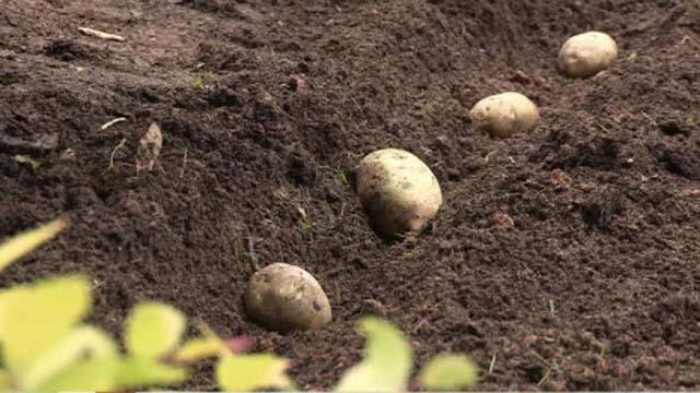Посадка картофеля «Зекура» производится в грунт, прогретый на глубину не менее 10-15 см