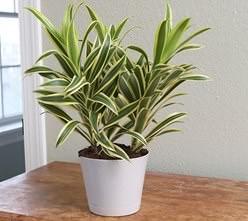 Драцена является растением из семейства Спаржевые