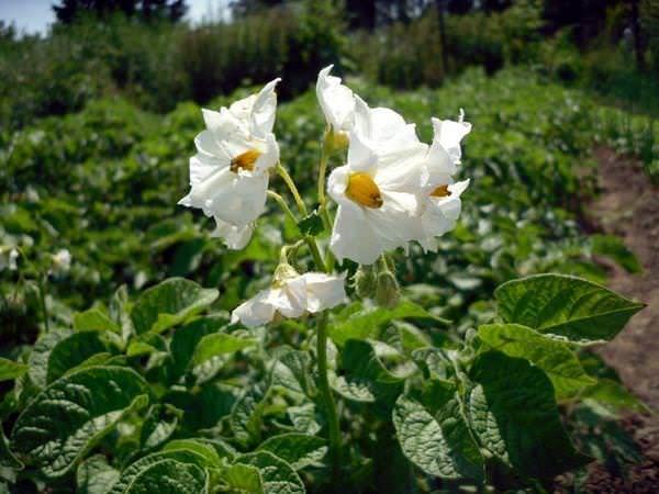 Среднеранний картофель «Адретта» обильно цветет белыми цветами