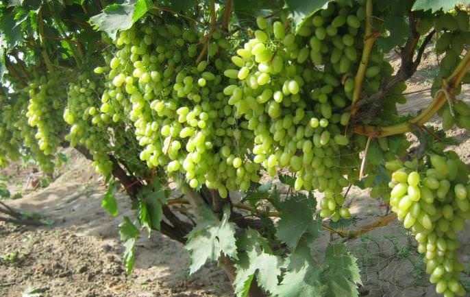 Виноград «Столетие» не склонен к осыпанию и гниению ягод