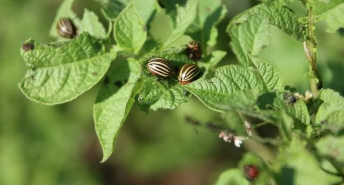 Очень часто картофель «Накра» поражают растительные паразиты
