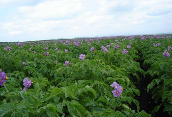 Картофель «Колетте» обладает очень хорошим иммунитетом к возбудителям картофельного рака