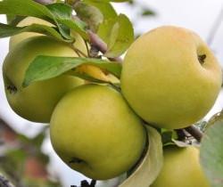 Яблоня сорта «Антоновка» относится к категории народной селекции