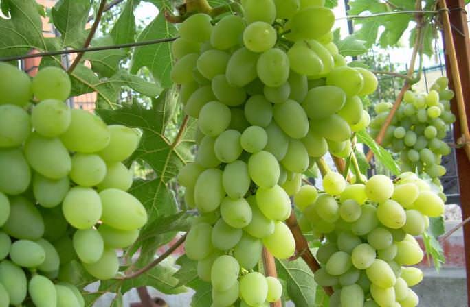 Виноград сорта «Баклановский» обладает высокой устойчивостью к гнилям