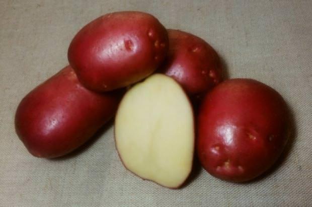 Показатели лежкости картофеля «Рокко» достаточно высокие