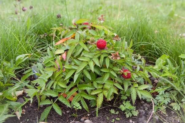 Земляничная малина может использоваться для укрепления сползающего грунта