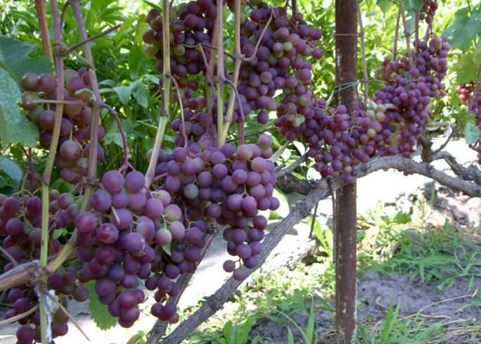Сорт «Русский ранний» характеризуется высоким показателем урожайности