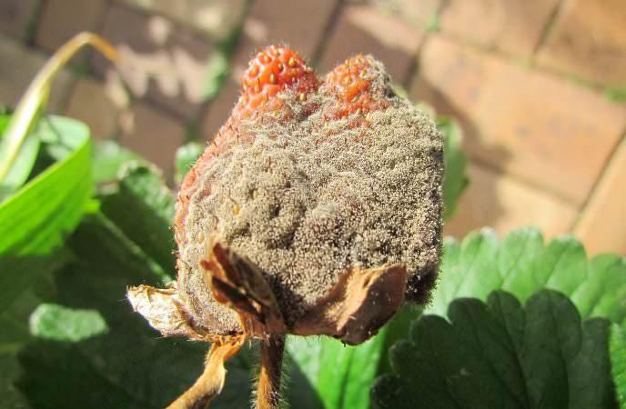 Серая гниль поражает плоды клубники, растение постепенно покрывается бурыми пятнами и засыхает