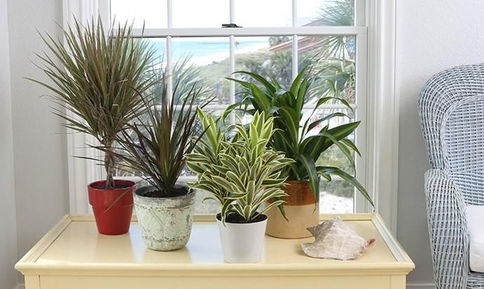 Значительная часть драцен представляют интерес как лиственно-декоративные растения для комнатного цветоводства и оформления интерьера