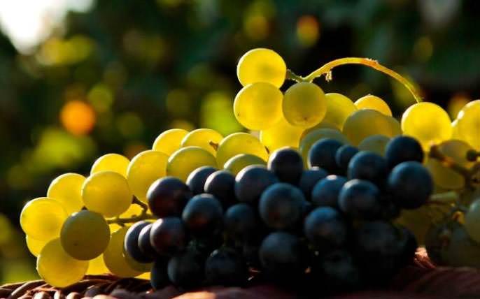Виноград – полезная и вкусная ягода