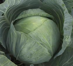 Гибрид «Агрессор f1» очень ценится отечественными овощеводами