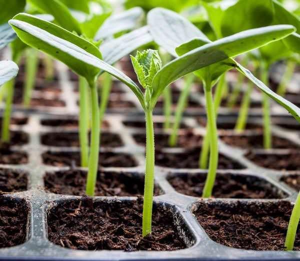 При выращивании рассады сорта «Маринда f1» следует использовать специальные посадочные ёмкости