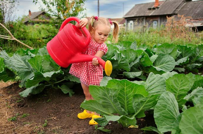 Особенно большое значение приобретают поливы капусты «Краутман» в послепосадочный период