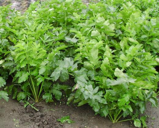 Если говорить о выращивании сельдерея в целом, то растение предпочитает тихие места с плодородной почвой и хорошей освещенностью
