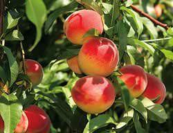 Персик «Ред Хевен» относится к высокоурожайным сортам