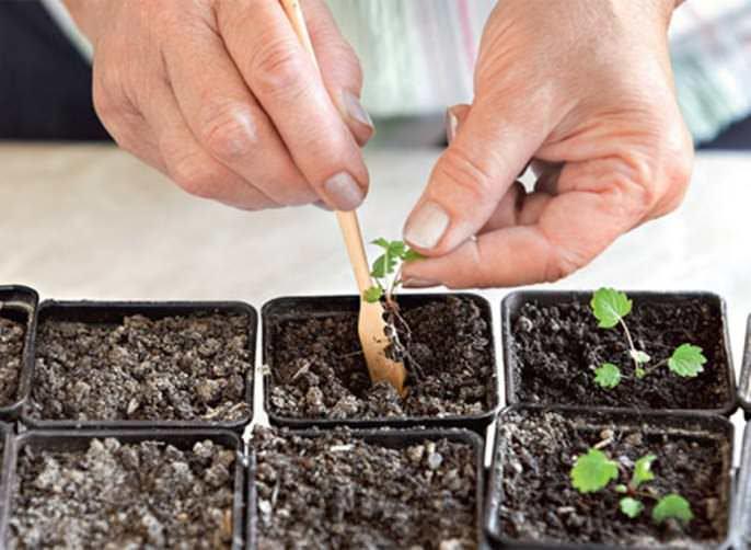 Выращивание земляники сорта «Барон Солемахер» из семян не представляет сложности