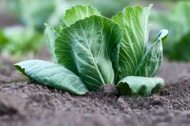 Климатические особенности необходимо учитывать при подборе семян капусты для посадки на рассаду или сразу в открытый грунт
