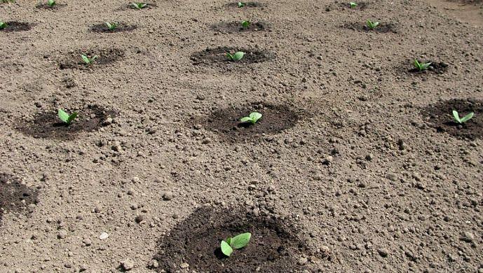 Огурцы Либелла описание, достоинства и недостатки, выращивание рассадным и безрассадным способом,