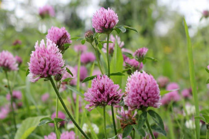 Сидераты – это растения, которые выращиваются перед высаживанием основной культуры и способствуют обогащению почвы полезными элементами