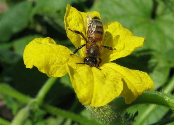 Огурец «Изумрудный поток f1» пчелоопыляемы гибрид