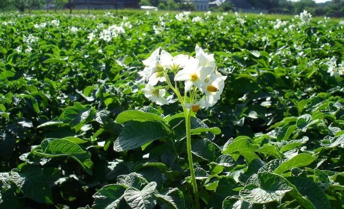 В начале активной вегетации может наблюдаться обильное разрастание картофельной ботвы, но с незначительным количеством цветков