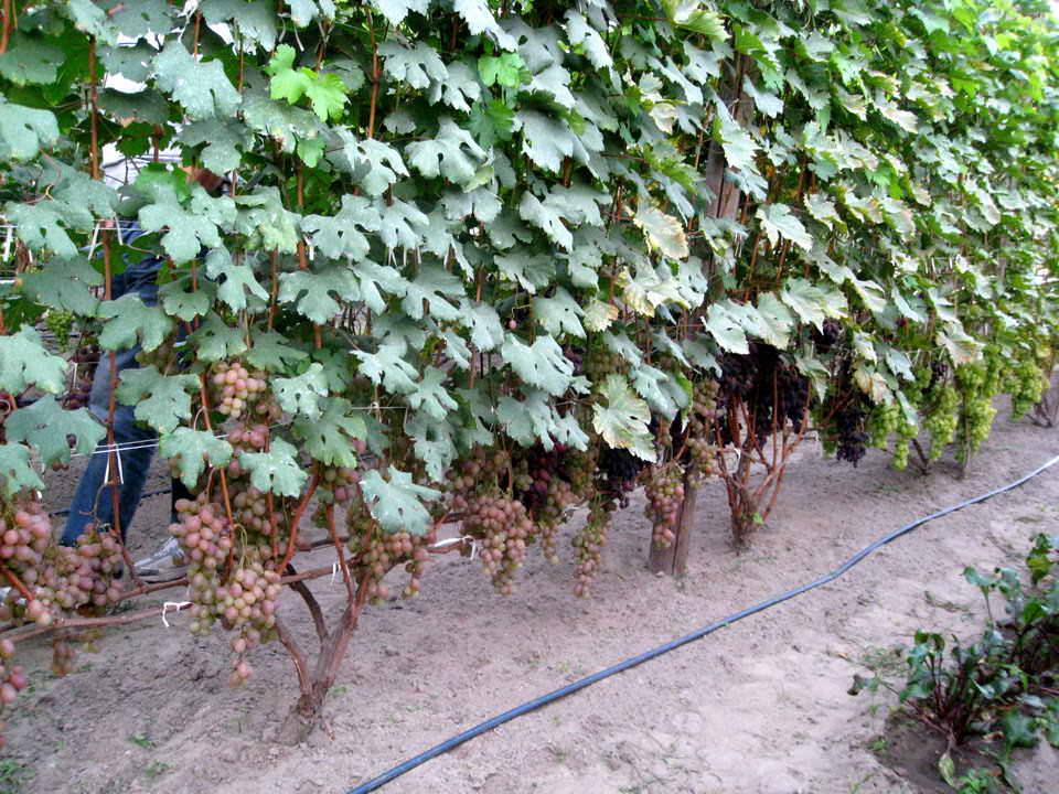 Качественные и надежные шпалеры для винограда