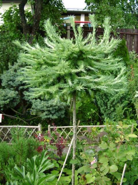 Когда выращиваете саженец, смотрите, чтобы ствол растения был строго вертикальным, чтобы на нем не было так называемых колечек и изгибов