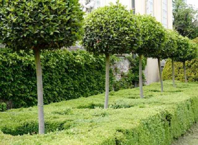 Побеги нужно обрезать до той поры, пока деревце не вырастет достаточно, а ствол его не станет в нужной мере толстым