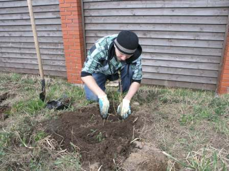 Посадка сирени в почву: процесс должен происходить аккуратно, с учетом всех требований