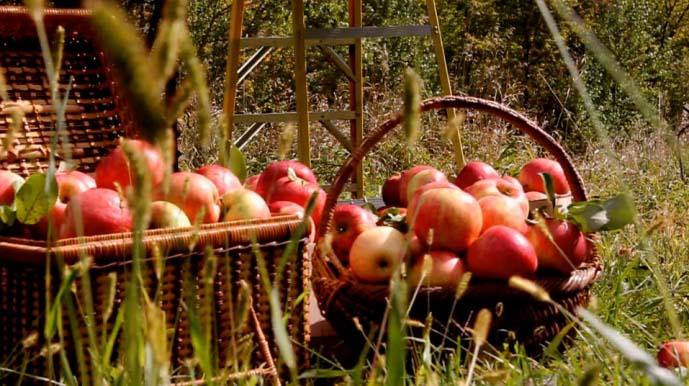 «Фуджи» относится к поздним сортам, поэтому собирают эти яблоки не ранее середины осени