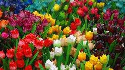 Тюльпан — один из самых популярных и изящных цветков