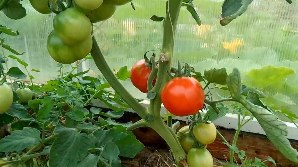 Лучшие сорта томатов для теплиц в 2018 году: описание, отзывы