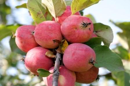 """Яблоки сорта """"Пепин"""""""